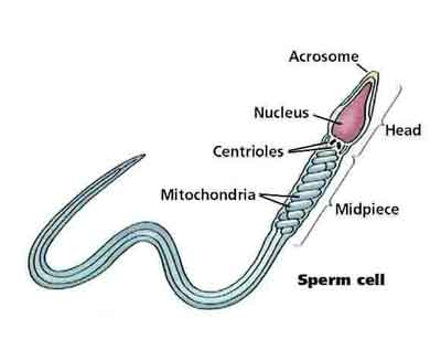 Diagram of a single sperm
